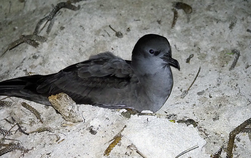 Wedge-tailed Shearwater (Ardenna pacifica)