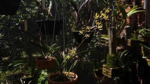Encyclia oliveirana Campacci 2007