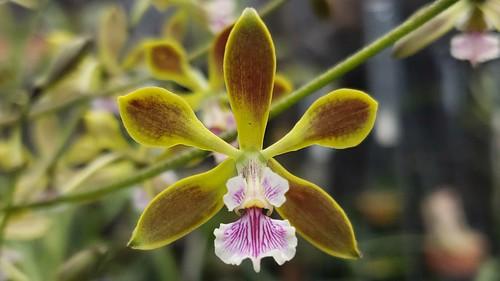 Encyclia maderoi Schltr 1920 (syn. E. replicata)