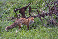 Fox standing near the old cultivator