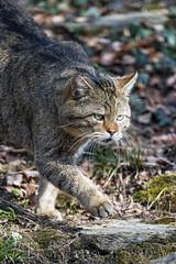 Wildcat carefully walking