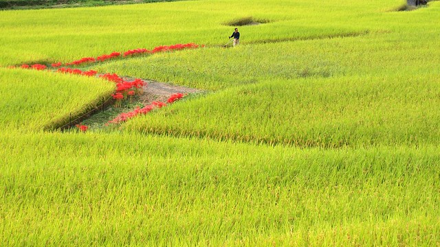 Photo:rice field with spider lily By coniferconifer
