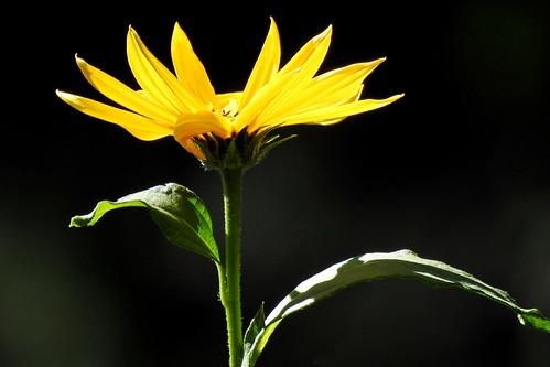 Blüte der Topinambur