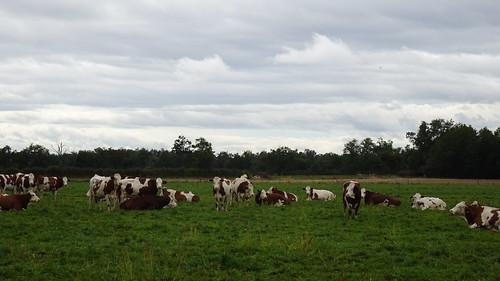 les vaches sur lesquelles tombe la pluie