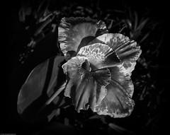 canna lily20191006a-