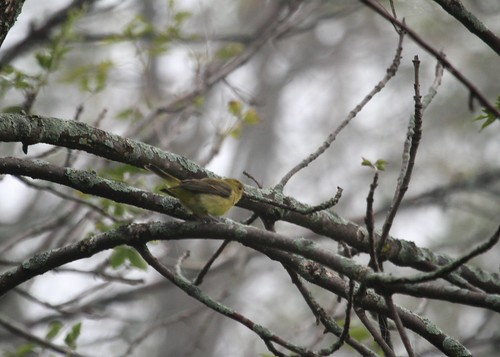 Scarlet Tanager in the fog and rain