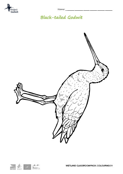 Black-tailed Godwit Colouring Sheet