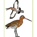 Black-tailed Godwit Poster