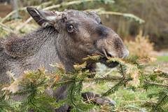 Elk eating fir
