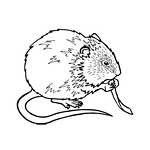 Water Vole Colouring Sheet
