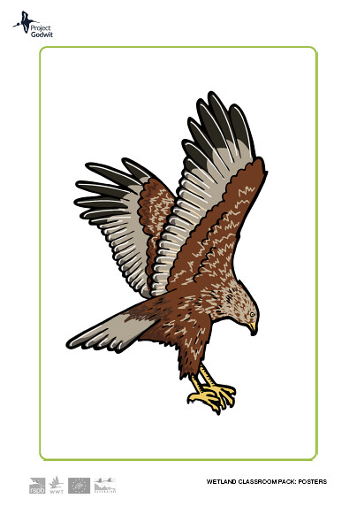 Marsh Harrier Poster