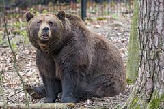 Bear posing next to the tree