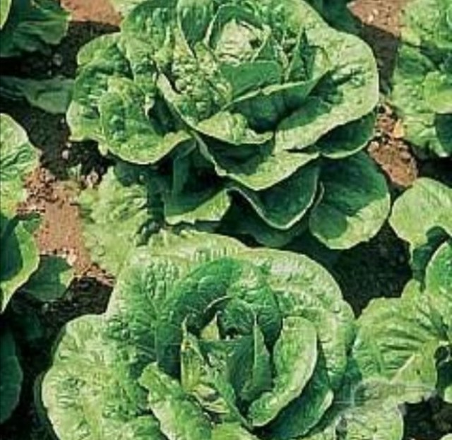 Lettuce Tom Thumb  seeds belonging to shiny