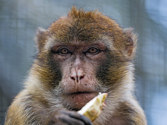 Portrait of a macaque eating