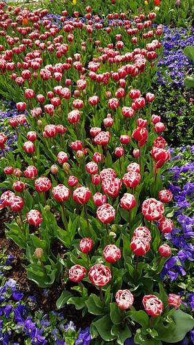 Tulip Festival Corbett Garden Bowral NSW 2019, every September.