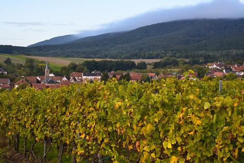 Les vignes de Cleebourg