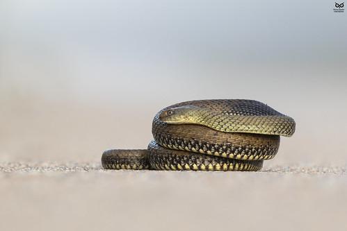 Cobra rateira(Malpolon monspessulanus)