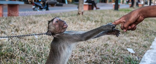 Pet Monkey on a Chain Grabs a Finger