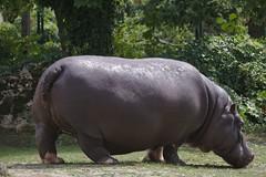 2017-08-11 AT Wien 13 Hietzing, Tiergarten Schönbrunn, Hippopotamus amphibius