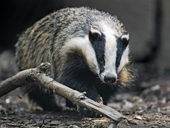 Badger besides the branch