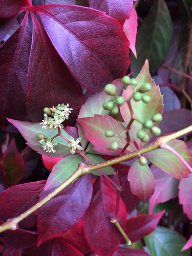 Jungfernrebe, Blüten und unreife Früchte
