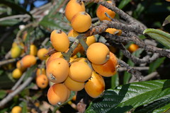 Loquats ready to eat