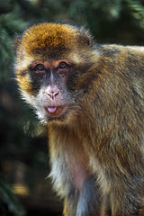 Macaque showing tongue