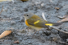 American Redstart (immature male)