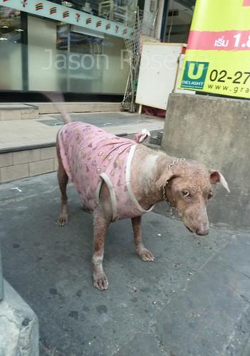 Last Photo of Jun the Dog Before His Demise (Bangkok)