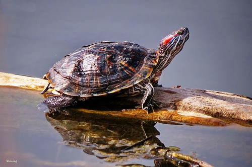 Western Red-eared Pond Turtle 4194