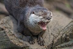 Otter yawning