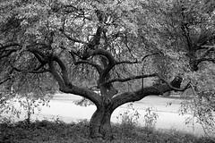 Malus halliana (Hall crabapple), US  National Arboretum