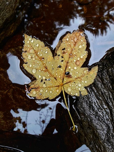 Ahornblatt im Wasser