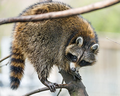 Raccoon in the tree