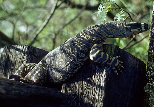 Lace Monitor Lizard, (Varanus varius), basking on the remnants of the Wallis Creek Viaduct, Richmond Vale Railway, NSW, circa 1995.