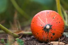 Close-up of a hokkaido pumpkin