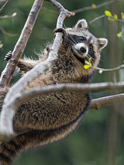 Raccoon in the tree II