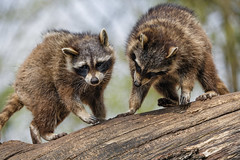 Two raccoons on the log