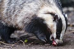 Badger eating meat