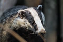 Next badger photo