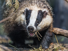 Happy badger