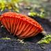 Red Crepidotus - Crepidotus cinnabarinus (Crepidotaceae) 119z-A046888