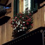 Fleurs de Suisse - 2  (MF Velvia 100)