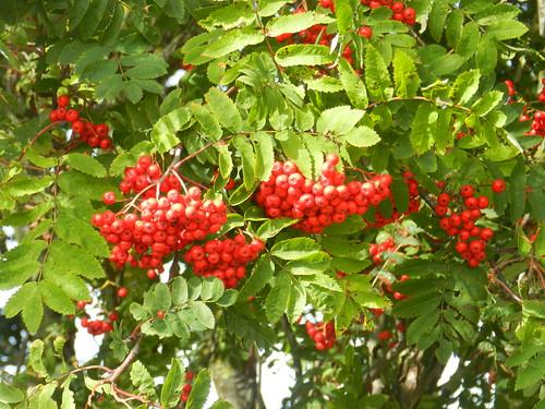 Berries, Nairn, Sep 2019