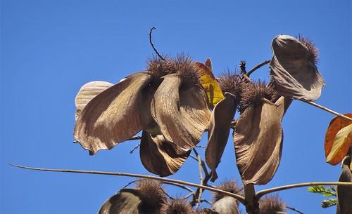 Legumes de Araribá-vermelho / Tarara-roja / Canarywood Tarara