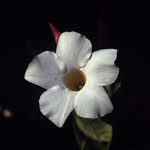 Fleurs de Suisse - 4  (MF Velvia 100)