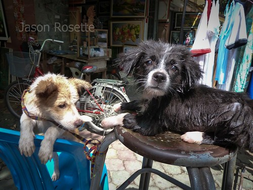 Dogs Dry in the Sun After a Bath, Phnom Penh