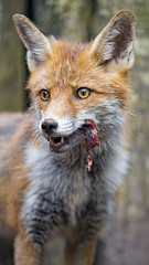 Cute fox with meat in the mouth