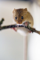 Eurasian harvest mouse