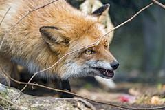 A fox a bit flat